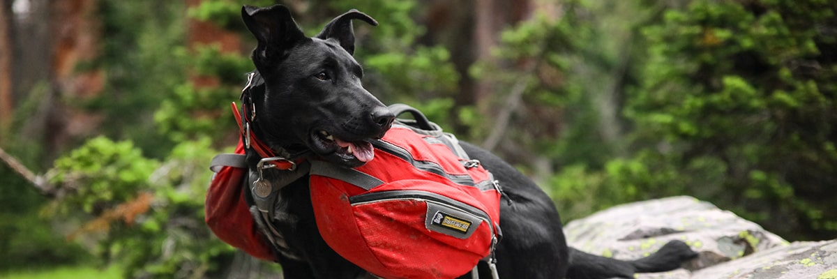Black dog sitting on a rock in the forest carrying a red backpack