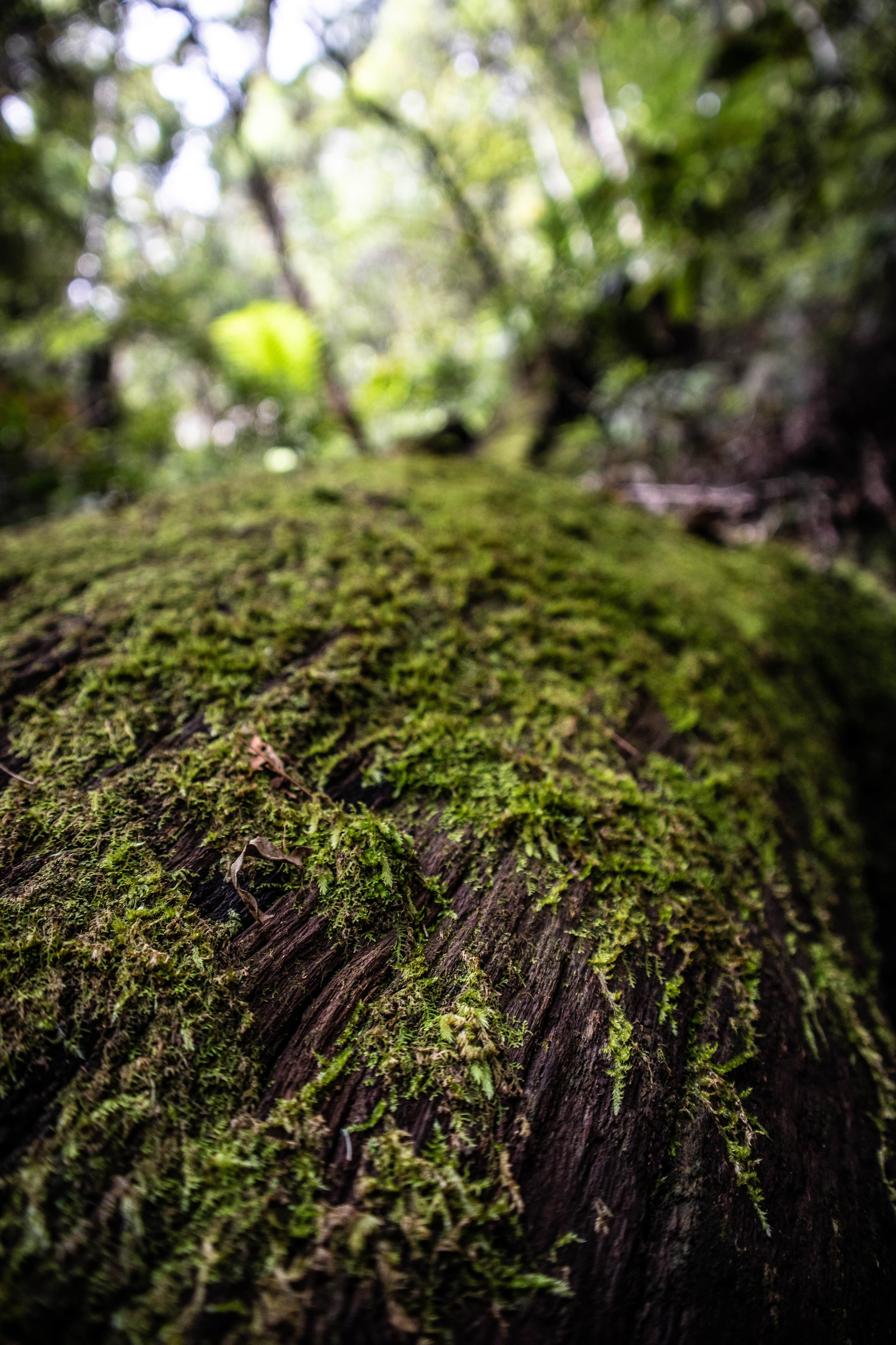 Moss covered log in ancient rainforest