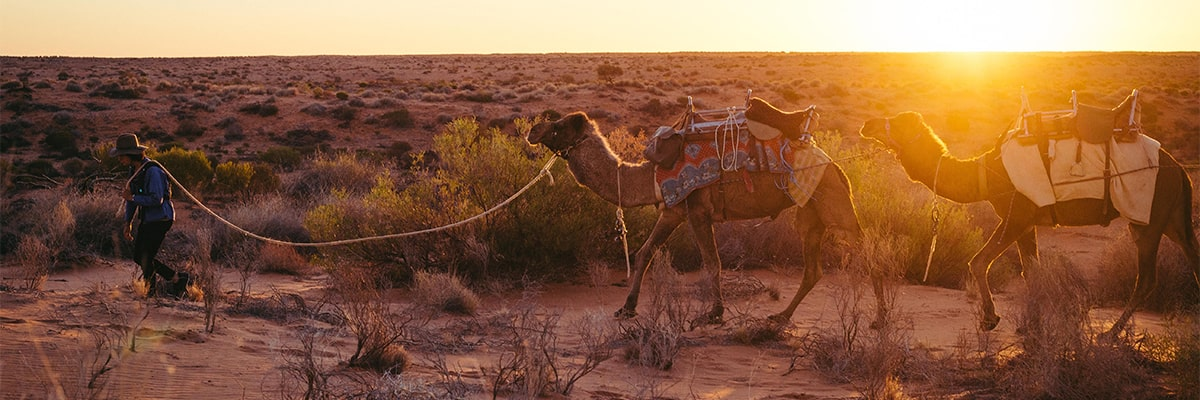 Camels trekking through outback Australia at sunset