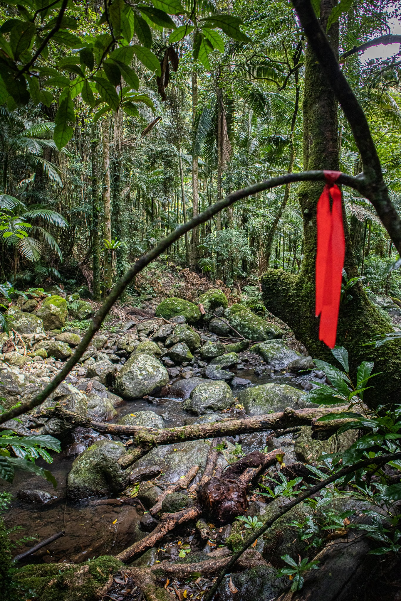 Red ribbon tied to a tree in the rainforest indicating where the hiking trail is
